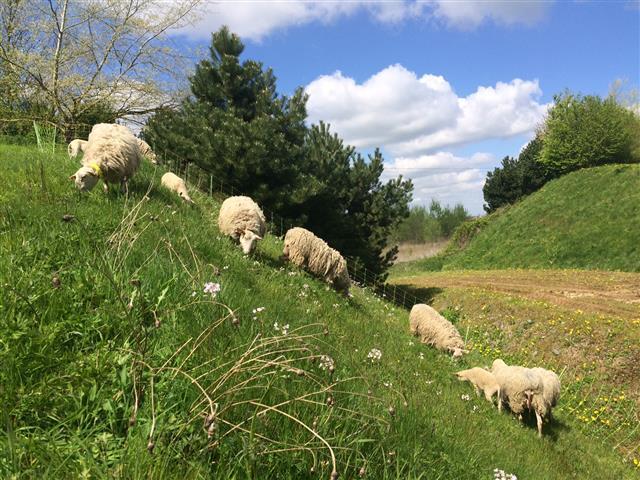 Les moutons sur les sites du Groupe