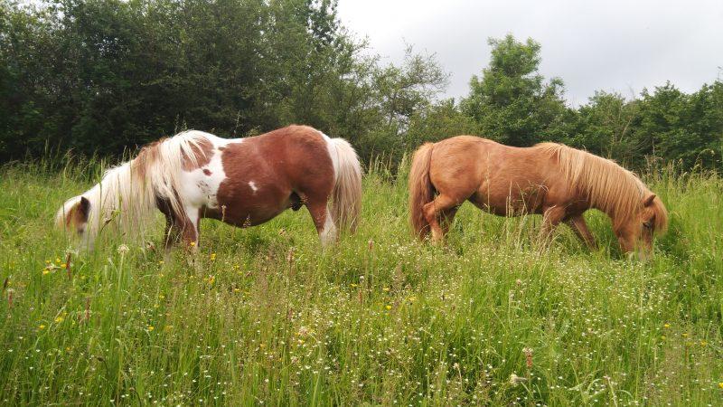 Les poneys sur le site de Nesles pour favoriser la biodiversité