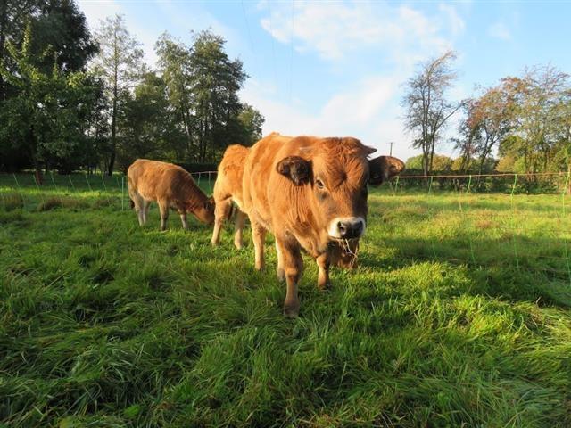 Des vaches Aubrac sur notre carrière de Maubeuge